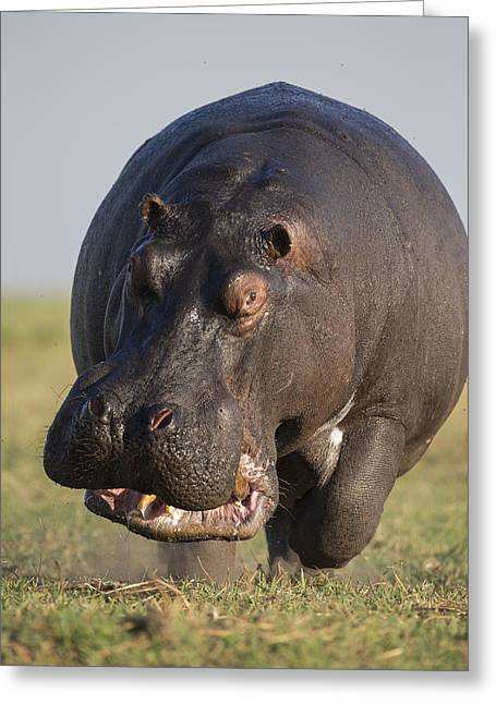 Hippopotamus Bull Charging Botswana Greeting Card by Vincent Grafhorst
