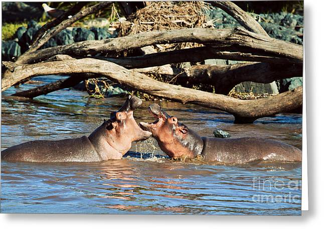 Immersed Greeting Cards - Hippopotamus fighting in river. Serengeti. Tanzania Greeting Card by Michal Bednarek