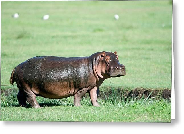 Craters Greeting Cards - Hippopotamus Hippopotamus Amphibius Greeting Card by Panoramic Images