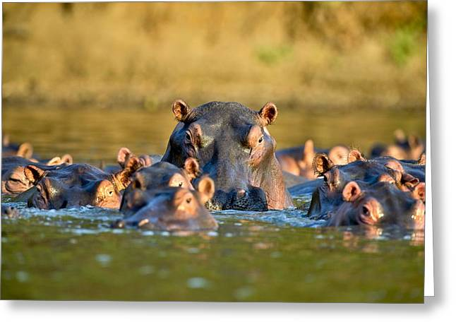 Hippos In Water Greeting Card by Science Photo Library