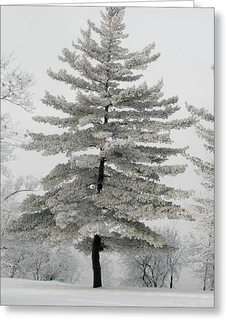 Hoar Frost Greeting Cards - Hoarfrost Pine Tree Greeting Card by Rob Huntley