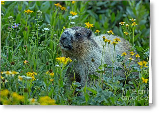 Hoary Marmot In Glacier Np Meadow Greeting Card by Natural Focal Point Photography