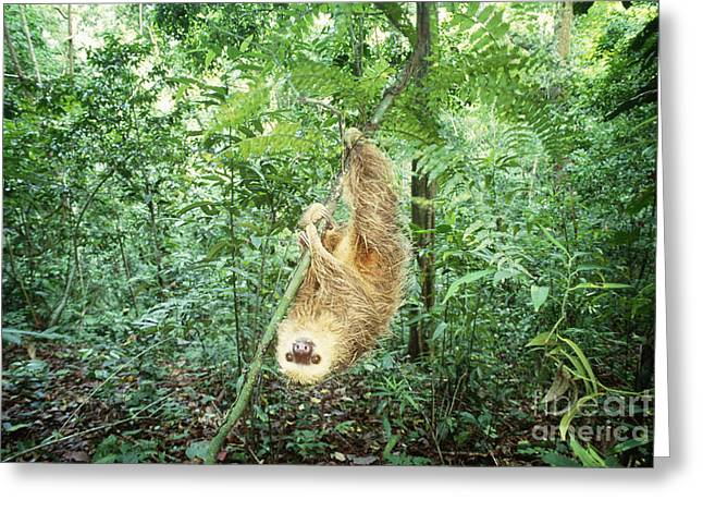 Sloth Greeting Cards - Hoffmans Two-toed Sloth Greeting Card by Art Wolfe