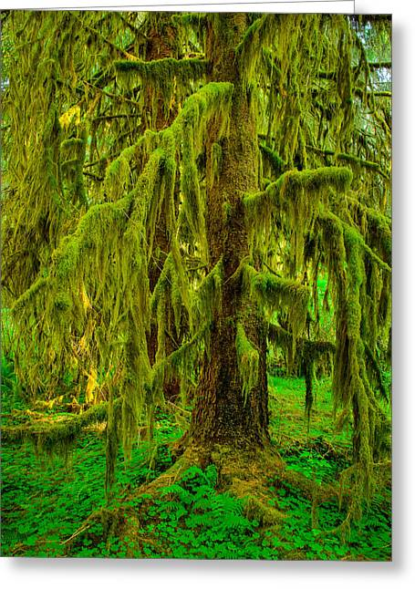 Moss Green Greeting Cards - Hoh Rainforest Heavy Weight Greeting Card by Dan Mihai