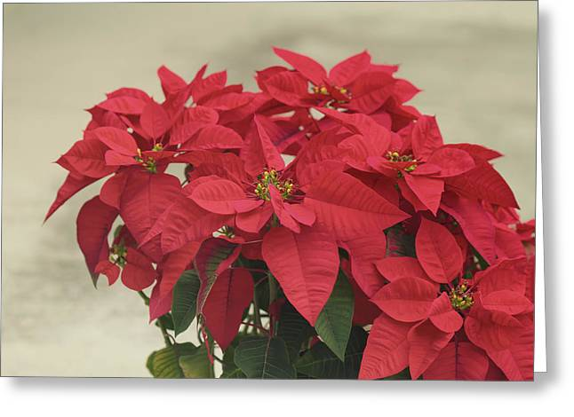 Euphorbia Greeting Cards - Holiday Poinsettia Greeting Card by Kim Hojnacki