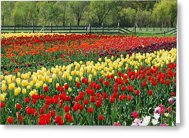 Fence Row Greeting Cards - Holland Tulip Fields Greeting Card by Michael Peychich