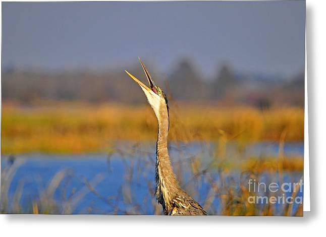 Gray Heron Greeting Cards - Hollering Heron Greeting Card by Al Powell Photography USA