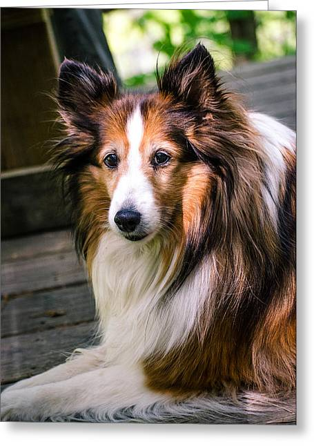 Collie Pyrography Greeting Cards - Hollie Greeting Card by Crystal Crist