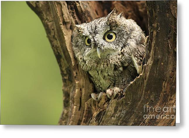 Shelley Myke Greeting Cards - Hollow Screech- Eastern Screech Owl Greeting Card by Inspired Nature Photography By Shelley Myke