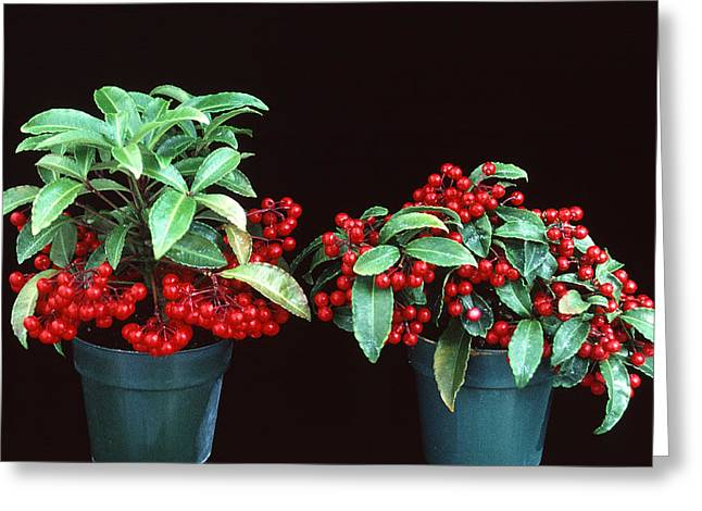 Potted Plant Digital Art Greeting Cards - Holly Greeting Card by Unknown
