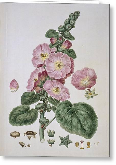 Alcea Rosea Greeting Cards - Hollyhock (Alcea rosea), artwork Greeting Card by Science Photo Library