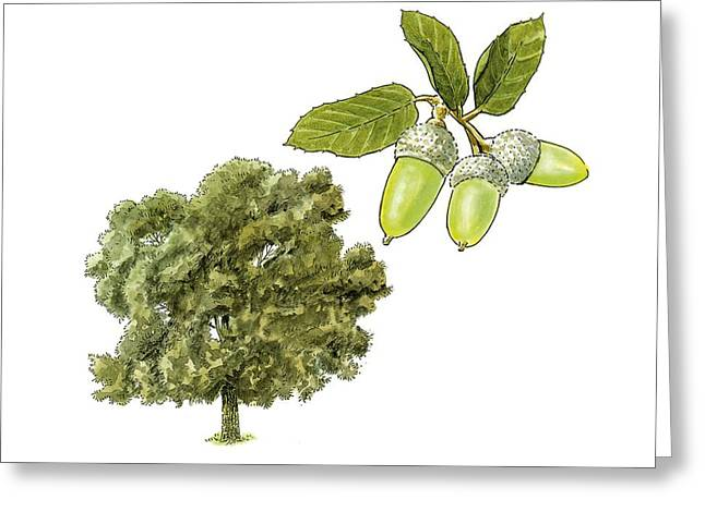 Acorn Greeting Cards - Holm oak (Quercus ilex), artwork Greeting Card by Science Photo Library