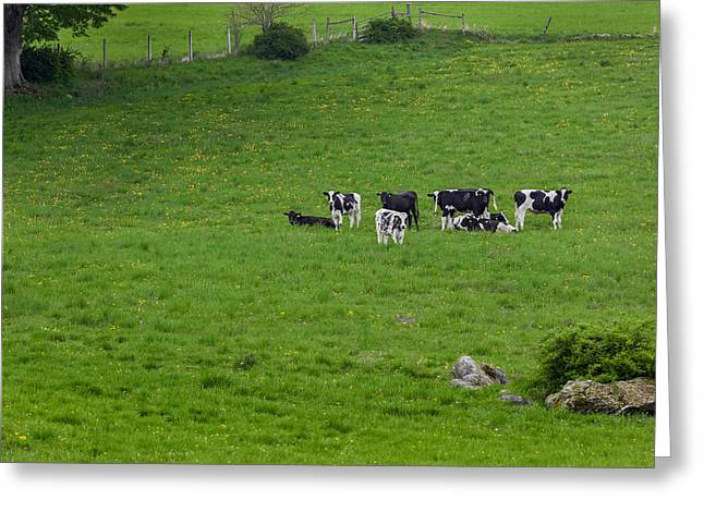 Farms Greeting Cards - Holsteins Greeting Card by Bill  Wakeley