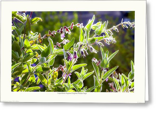 Saxon Holt Greeting Cards - Lepechinia fragrans - Pitcher Sage Greeting Card by Saxon Holt