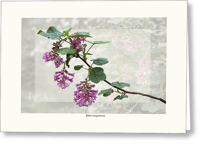 Ribes sanguineum - California Currant Greeting Card by Saxon Holt