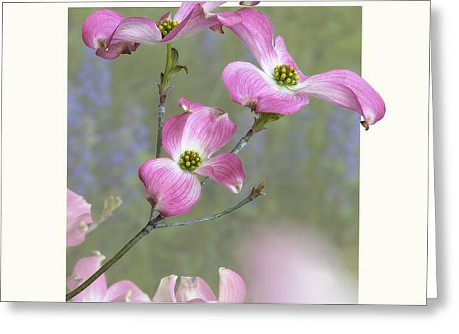 Flowering Dogwood - 'Cherokee Chief' Greeting Card by Saxon Holt