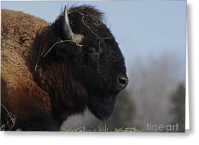 Home On The Range Bison Greeting Card by Inspired Nature Photography Fine Art Photography
