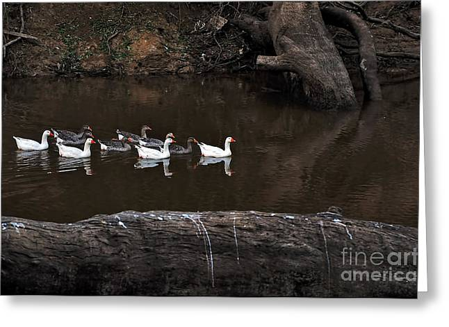 Gaggle Greeting Cards - Homeward Bound Greeting Card by Kaye Menner