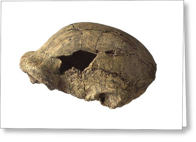 Eutheria Greeting Cards - Homo erectus cranium OH 9 Greeting Card by Science Photo Library
