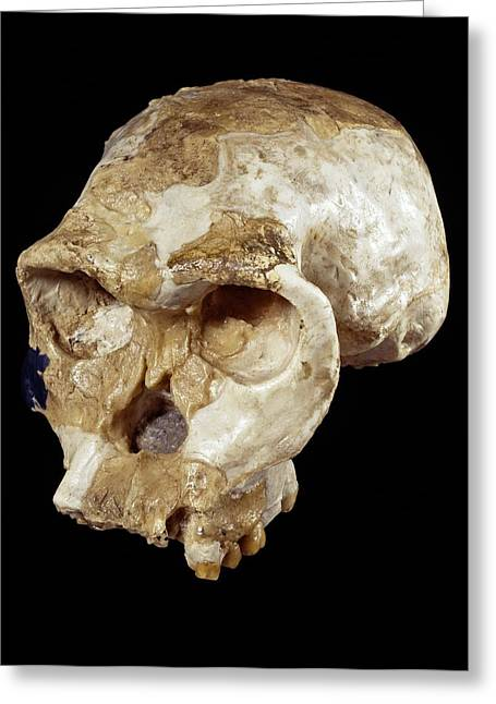 Twiggy Greeting Cards - Homo habilis cranium (OH 24) Greeting Card by Science Photo Library