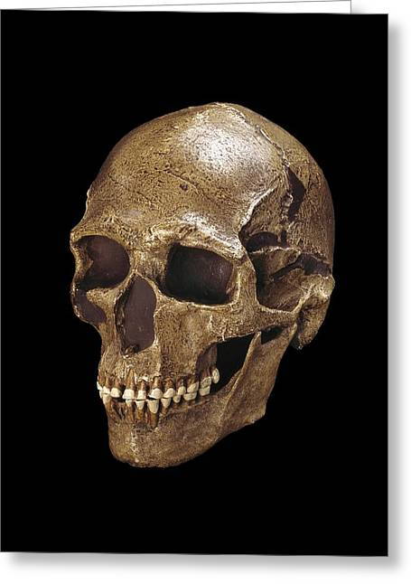 Moravia Greeting Cards - Homo sapiens skull (Predmosti 3) Greeting Card by Science Photo Library