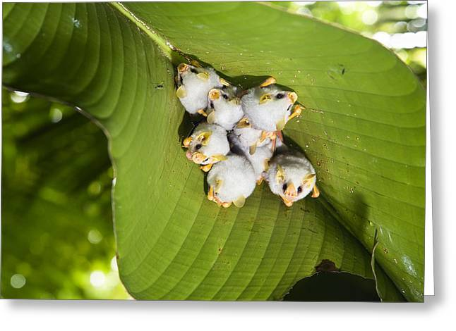 Roost Photographs Greeting Cards - Honduran White Bat Roosting Costa Rica Greeting Card by Konrad Wothe