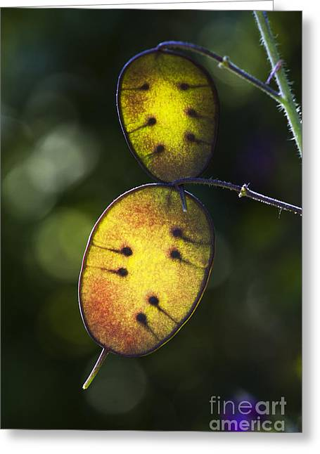 Honesty Seed Pods Greeting Card by Tim Gainey