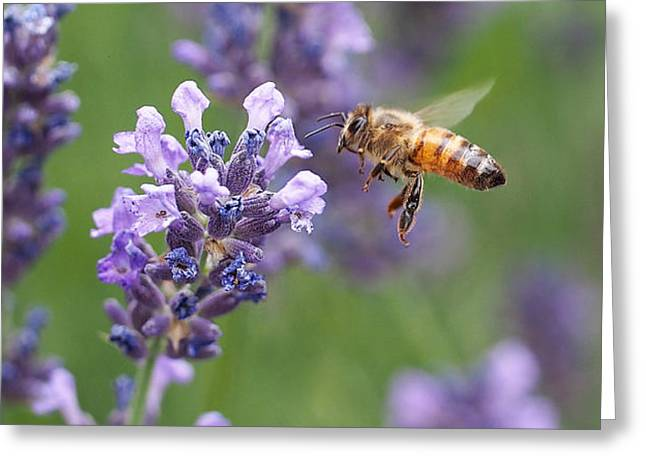 Bees Greeting Cards - Honey Bee and Lavender Greeting Card by Rona Black