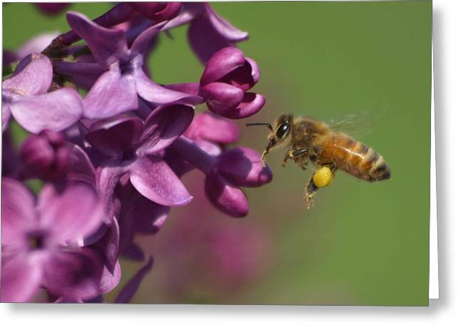 Peterson Nature Photography Greeting Cards - Honey Bee and Lilac Greeting Card by James Peterson