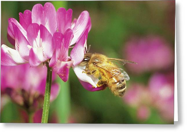Vetch Greeting Cards - Honey Bee Apis Mellifera Collecting Greeting Card by Fukuo Ito