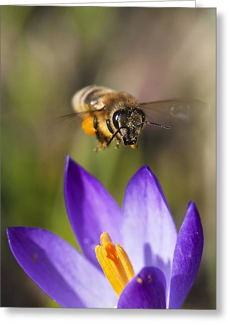 Bee In Flight Greeting Cards - Honey Bee Approaching Flower Bavaria Greeting Card by Konrad Wothe