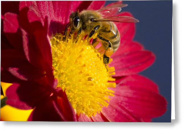 Honey Bee Greeting Card by Christina Rollo