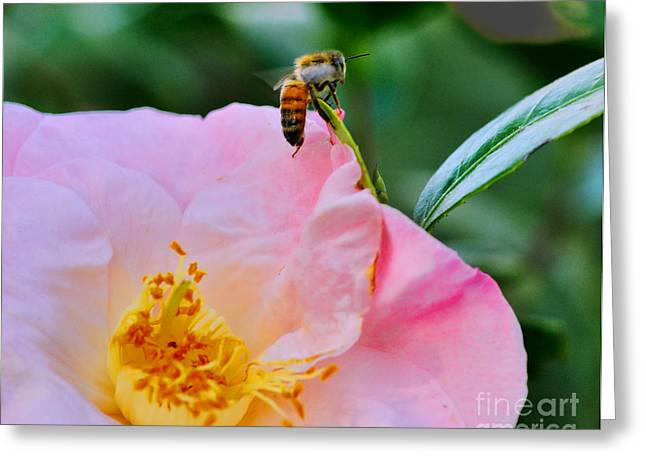 Bee Greeting Cards - Honey Bee Emerges from Pink Greeting Card by Wayne Nielsen