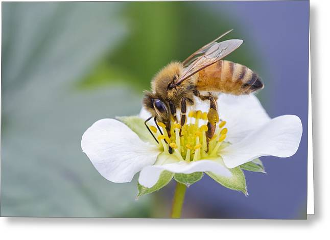 Netting Greeting Cards - Honey bee Greeting Card by Mircea Costina Photography