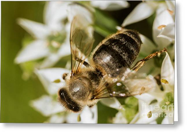 Commercial Photography Greeting Cards - Honey Bee on Garlic Chive Greeting Card by Iris Richardson