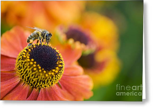 Color Colorful Greeting Cards - Honey Bee on Helenium Greeting Card by Tim Gainey