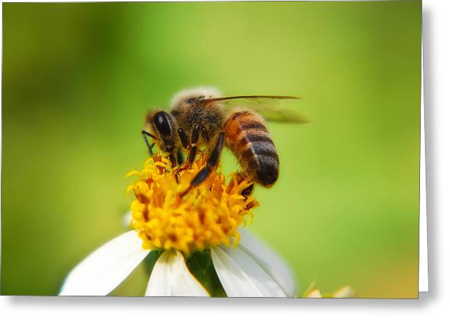 Tickseed Greeting Cards - Honey Bee Greeting Card by Rich Leighton