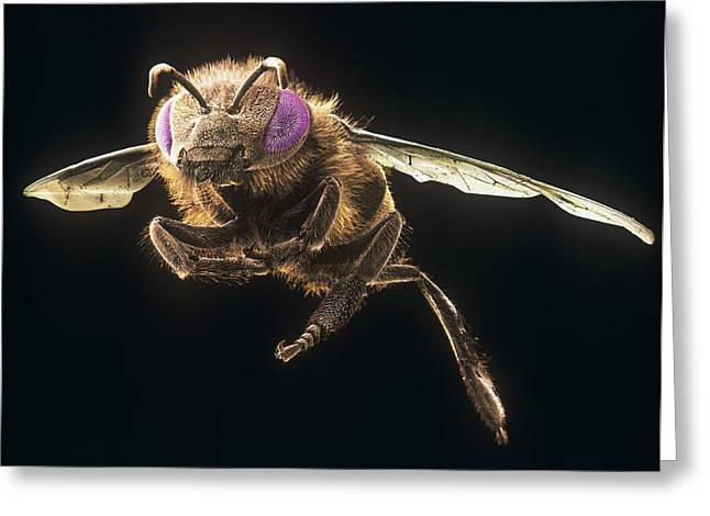 Scanning Electron Microscope Greeting Cards - Honey bee, SEM Greeting Card by Science Photo Library