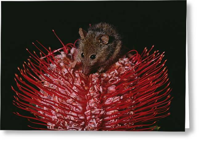 Proteaceae Greeting Cards - Honey Possum Feeding On Scarlet Banksia Greeting Card by Gerry Ellis