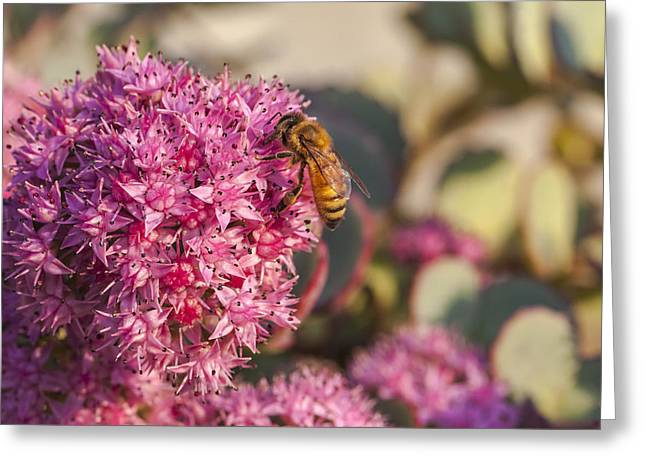 Sunlight On Flowers Greeting Cards - Honeybee On A Dark Pink Sedum Flower Greeting Card by Laura Berman