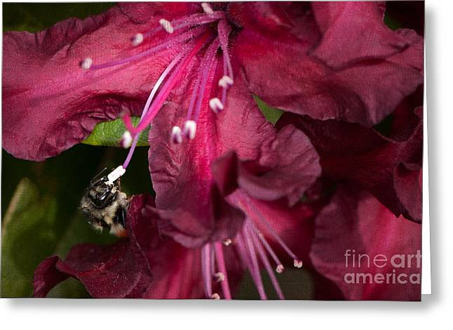 Honeybee Greeting Cards - Honeybee on Burgundy Rhododendron Greeting Card by Sharon  Talson