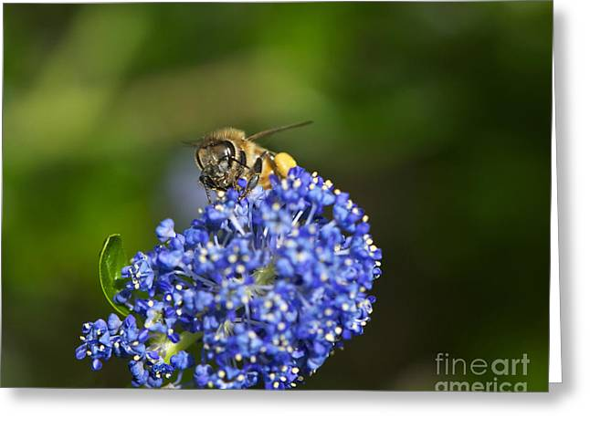 Domesticated Flower Greeting Cards - Honeybee on California Lilac Greeting Card by Sharon  Talson