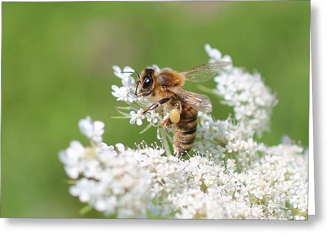 Wildfowers Greeting Cards - Honeybee on Queen Anns Lace Greeting Card by Lucinda VanVleck