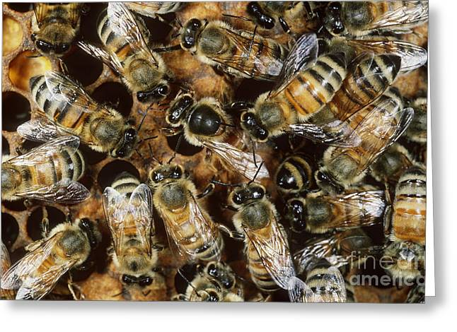 Honeybee Greeting Cards - Honeybees With Queen Greeting Card by Scott Camazine
