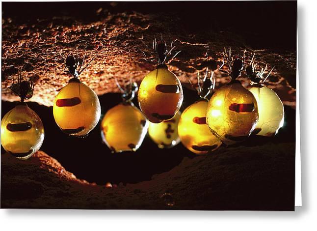 Larder Greeting Cards - Honeypot Ants Greeting Card by Reg Morrison