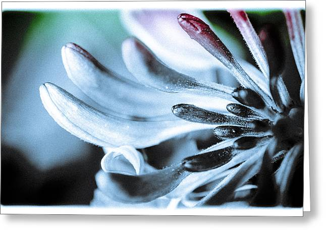 Leicht Greeting Cards - Honeysuckle Greeting Card by Annette Hanl
