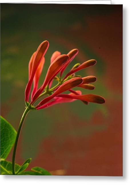 Suckle Greeting Cards - Honeysuckle Blooms Unopened 1 Greeting Card by Douglas Barnett