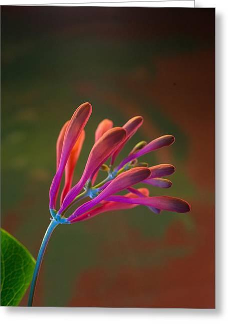 Vine Leaves Greeting Cards - Honeysuckle Blooms Unopened 2 Greeting Card by Douglas Barnett