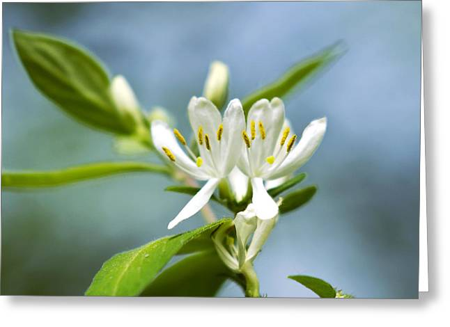 Framed Stamen Greeting Cards - Honeysuckle Flowers Greeting Card by Christina Rollo