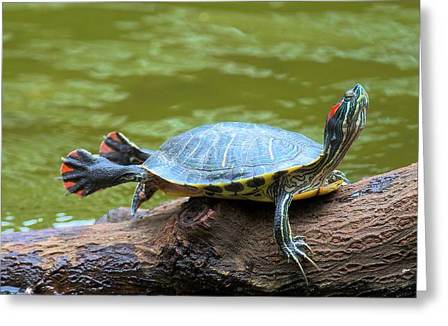 Hong Kong, A Painted Turtle Stretches Greeting Card by Richard Wright